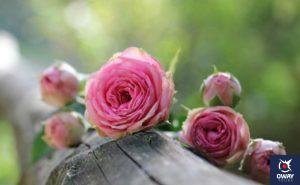 Rose from the Concepcion Botanical Garden