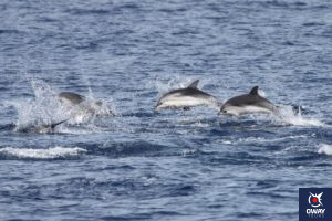 Dolphin watching in the Strait of Gibraltar