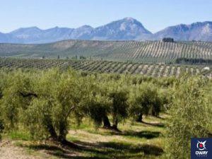 Extensos olivares para la producción de aceite de oliva en Córdoba